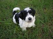 Charming and Lovely Havanese Puppies