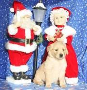 KC Register golden retriever puppies