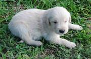 Golden retrievers puppy for good homes